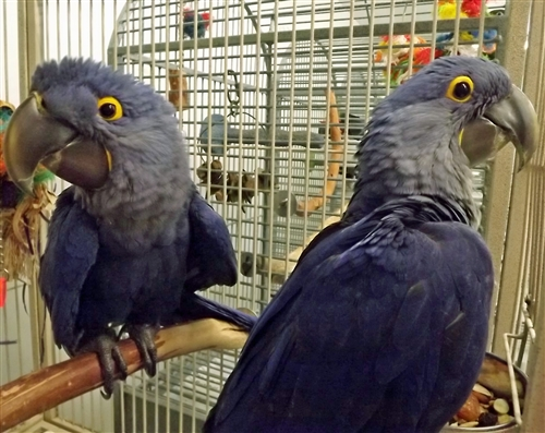 2 Hyacinth Macaw Parrots
