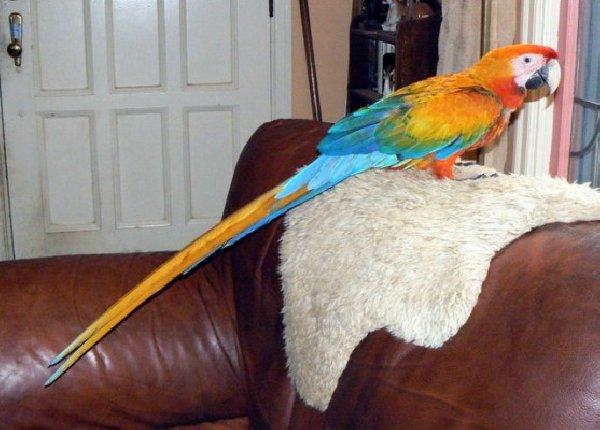 Harlequin Macaws Camelot macaws Buffon Macaws Hahn