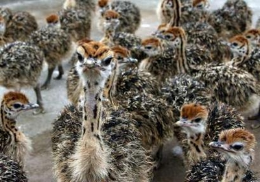 Healthy ostrich chicks, hatching eggs , feather