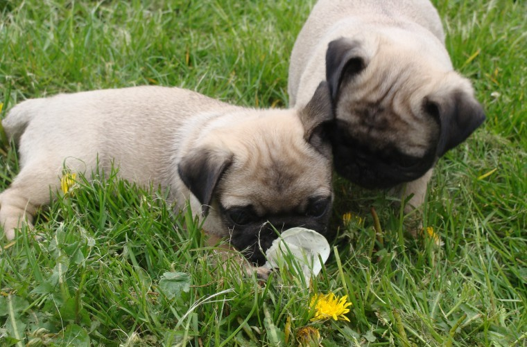 Lovely Pug Puppies Ready For Sale