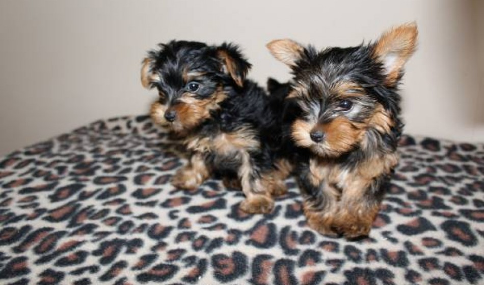 Lovely Yorkie Puppies Available