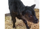Az Goshala: Save Nandi, the Calf