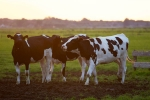 cancer, Nagur, cow urine can cure cancer says nagpur institute, Cervical cancer