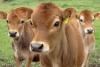 Goshala, Cow Shelter in San Tan Valley