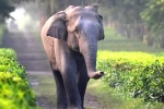 Tamed Elephants in India to get Unique Identification Numbers like Aadhar
