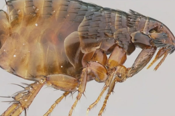 Fleas in North Arizona test positive for plague, officials are insisting public to take proper precautions