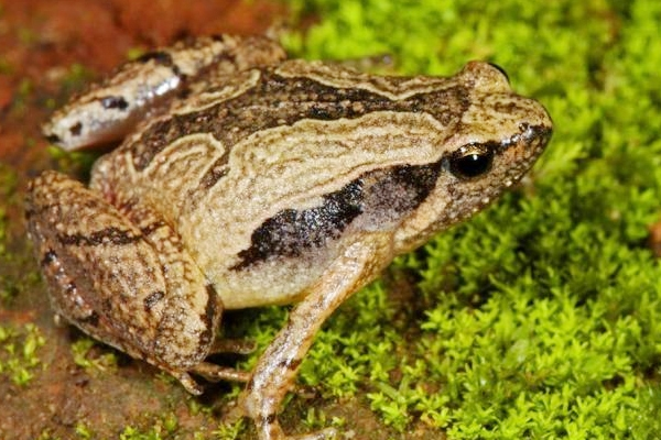 South Indian Frog Mucus Kills Flu Virus